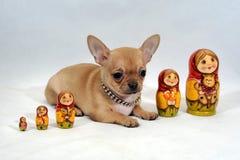 与Matryoshka的奇瓦瓦狗小狗 图库摄影