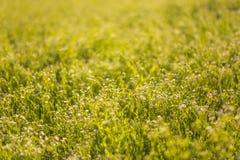 与Melilotus的一个黄色领域,叫作香苜蓿、草木樨和kumoniga, 欧洲蜜源植物  免版税库存图片