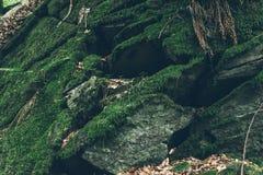 与mos的树在森林里 库存图片