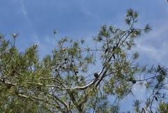 与neeedle和锥体的杉树分支 图库摄影