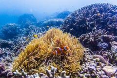 与nemo鱼的佩戴水肺的潜水 免版税库存照片