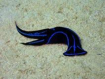 与nudibranch和夜间海参下潜的特写镜头在沙巴,婆罗洲 库存图片