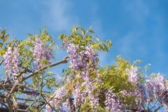 与openning绿色背景的紫藤花 免版税库存图片