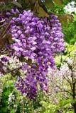 与openning绿色背景的紫藤花 库存图片