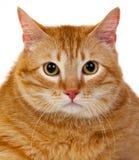 与overweigh的成人红色猫 免版税库存图片