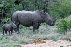 与oxpecker的婴孩和母亲犀牛 免版税库存图片