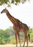 与oxpeckers的充分的被构筑的长颈鹿对此` s后面,站立在树下从非洲太阳保护,南Luangwa,赞比亚 库存照片