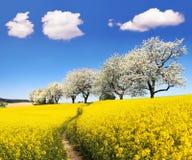 与parhway和樱桃树的油菜籽领域 库存图片
