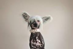 与Perls的中国有顶饰狗 免版税库存照片