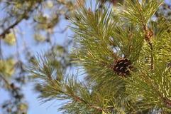 与Pinecone的杉树 免版税图库摄影