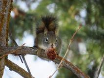 与pinecone的灰鼠在嘴 免版税库存照片