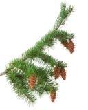 与pinecones的树枝 免版税库存图片