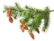 与pinecones的树枝 免版税图库摄影
