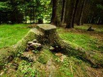 与polypore的树桩在森林里 免版税库存图片