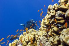 与porites珊瑚、异乎寻常的鱼anthias和女孩潜水者的珊瑚礁热带海底部的  免版税库存照片