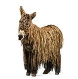 与rasta外套的Poitou驴 免版税库存图片