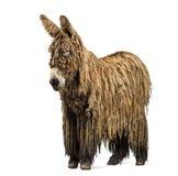 与rasta外套的Poitou驴 免版税库存照片