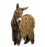 与rasta外套的Poitou驴 库存照片
