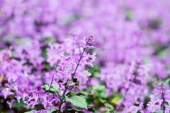 与Salvia farinacea Benth的美好的春天背景 免版税库存照片