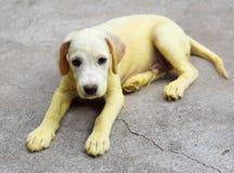 与scabies皮肤的一点逗人喜爱的长的头发小狗对待与家庭惯例医学的金子黄色颜色 库存照片