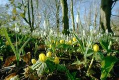 与snowdrops的菟葵 免版税图库摄影