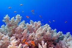 与sotf硬花甘蓝珊瑚的珊瑚礁和在热带海底部的异乎寻常的鱼anthias  免版税库存图片