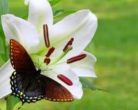与Spicebush Swallowtail蝴蝶的白色圣诞节百合 免版税库存图片