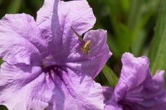 与spiderweb的紫色花蜘蛛 免版税库存照片