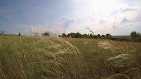 与stipa植物的美好的日落 影视素材
