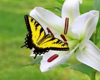 与Swallowtail蝴蝶的白色圣诞节百合 库存照片