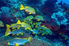 与Sweetlips鱼的水下的风景 库存照片