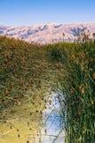与tule芦苇和香蒲的沼泽风景 库存图片