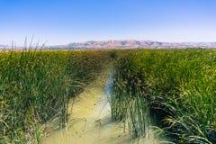 与tule芦苇和香蒲的绿色沼泽风景 免版税图库摄影