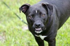 与underbite的拳击手Pitbull被混合的品种狗 库存照片
