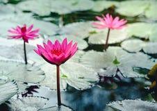 与wat的美好的莲花或荷花反射 免版税图库摄影