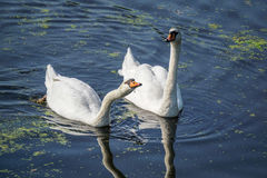 与waterdrops的两只天鹅在他们的额嘴 图库摄影