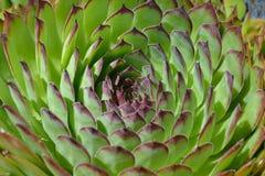 与waterdrops的罗塞达多汁植物 免版税图库摄影