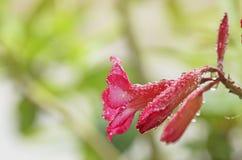 与waterdrops的花 免版税库存图片