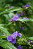 与waterdrops的蓝色花 库存图片