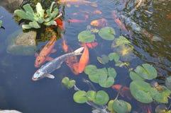 与Waterlilies的日语Koi在池塘 库存图片