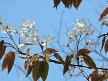 与whte花的树 免版税库存照片