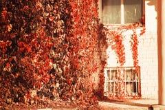 与Windows的砖瓦房由与许多的卷曲明亮的灌木构筑了叶子秋天温暖的晴朗的天气 免版税图库摄影