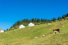 与yurts和一头母牛的山风景与小牛,吉尔吉斯斯坦 库存照片