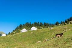 与yurts和一头母牛的山风景与小牛,吉尔吉斯斯坦 免版税库存图片