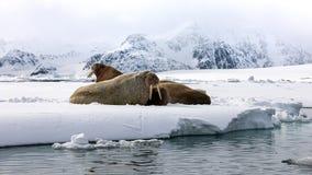 丑恶在快速的冰的海象在斯瓦尔巴特群岛附近 免版税库存图片