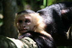 丑恶的猴子 免版税库存图片
