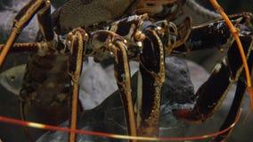 丑恶的甲壳动物的野生生物 股票录像