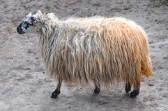 丑恶的绵羊 库存照片