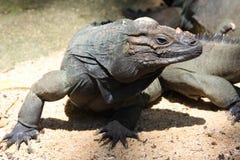 丑恶的鬣鳞蜥 免版税库存照片