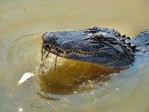 丑恶的鳄鱼 免版税库存图片